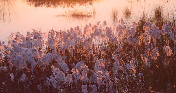 Wollgras im Sonnenaufgang
